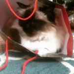 Merry Christmas from isisthecat bestcatintheworld hurryupsanta itsnearlychristmas catsofinstagram birmansofinstagram birmancathellip